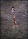 Giraff in the acacia forest near Lake Naivasha