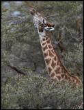 Giraff  - reaching over 5 meters tall....