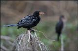 Long-tailed Cormorant - small but abundant