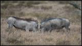 Warthogs preparing to fight