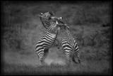 Zebras fighting in Hells Gate - Kenya