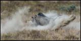 Male Warthogs fighting