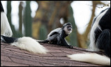 Young Pied Colobus