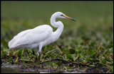 Great White Egret in Naivasha Lake
