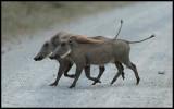 Warthogs buddies....