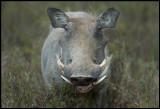 Warthog - best or beauty??
