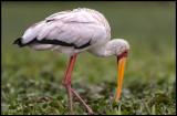 Yellow-billed Stork - Lake Naivasha