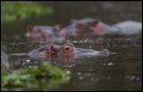 Hippos waiting for dusk to get up and feed - Lake Naivasha