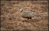 Yellow-throated Sandgrouse - difficult to see against the red soil