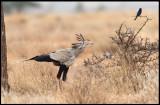 Coolest bird in the world! A Secretary Bird is watching a Drongo