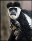 Pied Colobus  with baby