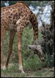 Giraff eating cactus