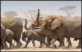 Amboseli Elephants walking down to drink in the marsh