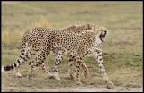 Two Cheeta brothers hunting together - Amboseli