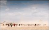 Masai Cattle in severe dust...