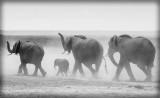 Elephants searching for water - Amboseli Kenya