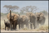 Elephants coming down from the forest to seek water