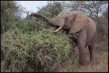Elephant feeding in the bush near Amboseli