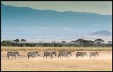 Zebras and the slopes of Kilimanjaro