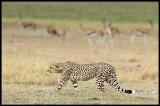 Predator & Prey - Cheeta & Thomson Gazelles in Amboseli NP