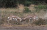 Grants Gazelles fighting