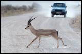 Grants Gazell crossing the road in Amboseli