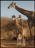 Giraff family near Amboseli