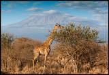 Giraff - the classic view near Kilimanjaro