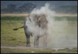 A solitary male Elephant dusting itself - Amboseli NP