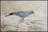 Eastern Chanting Goshawk eating another bird - Amboseli