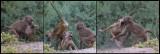 Young Baboons playing - Amboseli