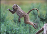 Young Baboon jumping