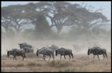 Wilderbeests in late afternoon dust - Amboseli