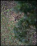 Leopard - Masai Mara