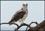 Juvenile Black-chested Snake Eagle
