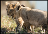 Lion cubs waiting for mother to return from hunting