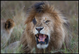 Old male Lion with eye injury - still capable to mate