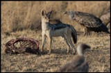 Black-backed Jackal with carcass and vultures