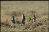 Banded Mongoose lookout