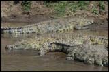 Nile Crocodiles in Mara River