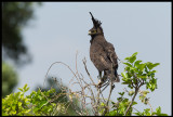Long-crested Eagle at our Base Camp