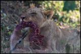 Lion with prey - a Thomson gazelle