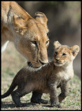 Female Lion with dirty cub....