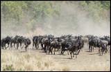 Wilderbeests near Mara River