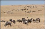 Wilderbeests in Kenyan part og Serengeti
