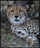 Cheeta during a midday rest