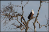 Voice of Africa - African Fish Eagle