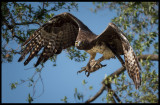 Martial Eagle with Banded Mongoose