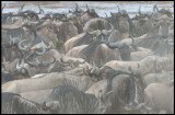 Wilderbeest dusty chaos at Mara River