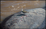 It is  NOT a rock ! It is a Common Sandpiper on top of a Hippo